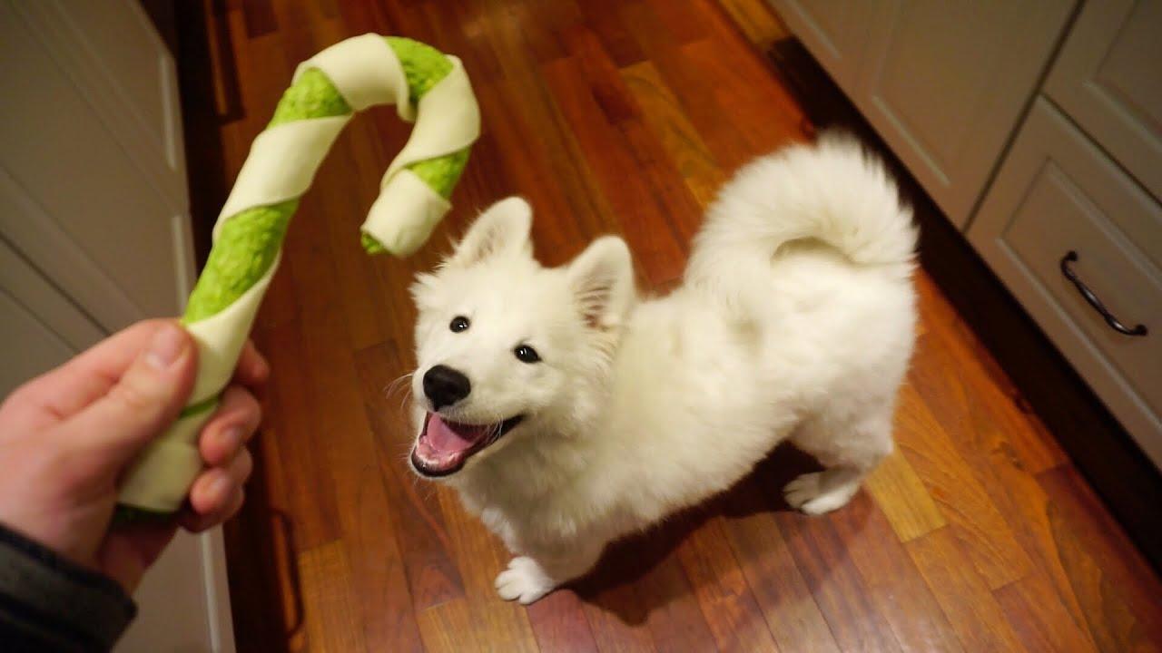 Samoyed Puppy Opens Christmas Gifts! - Nukka the Samoyed
