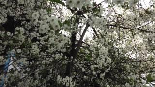 Скачать Цветущий месяц май