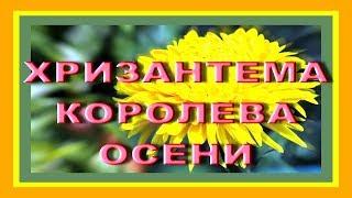 ХРИЗАНТЕМА - королева осени ХРИЗАНТЕМЫ осенние цветы