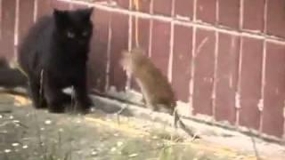 Крыса гроза котов