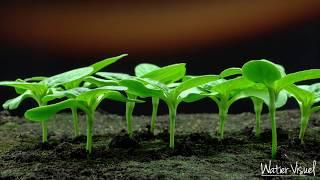 Time lapse  sur germination et levée de Tournesol  Time-lapse
