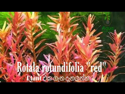 "Rotala rotundifolia ""red"" Plant එක ගැන දැනගන්න..."