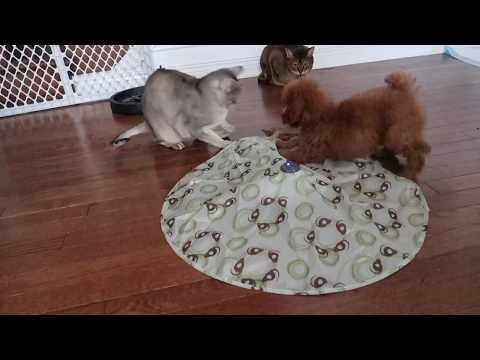 Abyssinian cats and dogs: THE NEW TOY