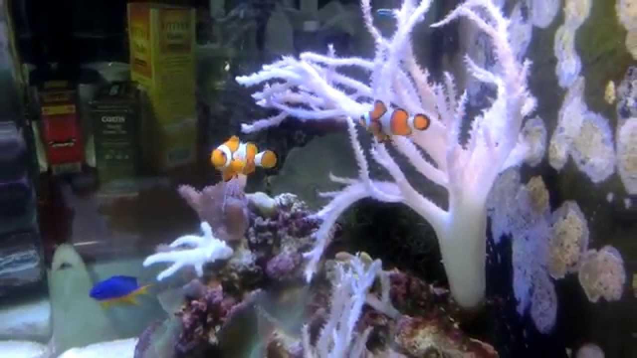 Морской аквариум, морской риф дома на 80 литров. Морские аквариумы .