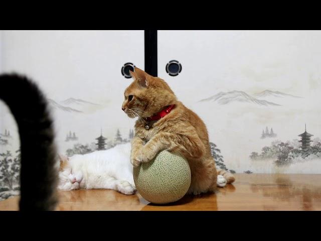マスクメロン猫 Cat and melon 170831