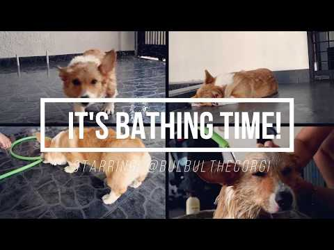 IT'S BATHING TIME! Plus How to Wash Your Dog Steps - Bulbul The Corgi #3