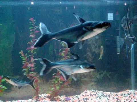 Fish tank with paroon baby sharks and angels youtube for Shark fish tank