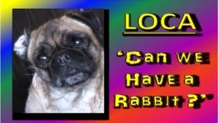 Loca The Pug 'can We Have A Rabbit?""
