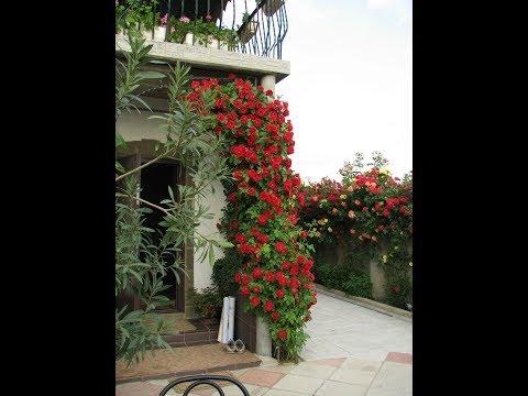 Плетистые розы на арке, обрезка роз, питомник роз Полины Козловой, Rozarium.biz