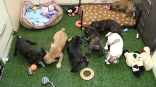 Little Rascals Uk Breeders New Litter Of Pure Bred French Bulldog Babies - Puppies For Sale 2015