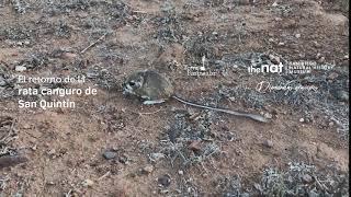 絶滅したと思われていたかわいい生き物「カンガルーネズミ」が32年ぶりに発見される(メキシコ)