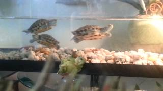 Red eared aquatic turtles in mating dance