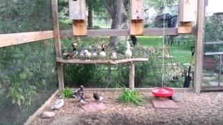 Mandarin ducks at C.T. Aviary chatting it up.