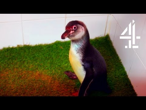 Download Youtube: Fixing A Penguin's Leg To Help Them Swim | The Supervet
