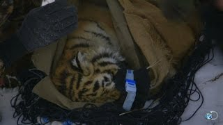 Saving an Orphaned Siberian Tiger Cub