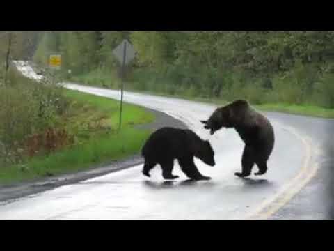 Два медведя устроили драку на проезжей части в Канаде