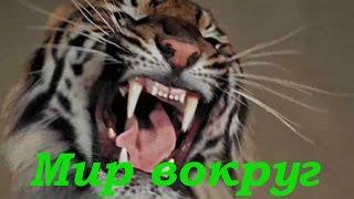 Самые большие кошки  Схватка тигров