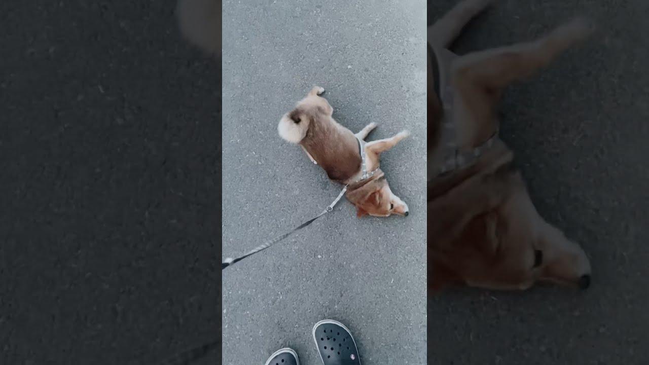 散歩中にどうしても我慢できなくなり、思わずアレをしてしまう柴犬#shorts