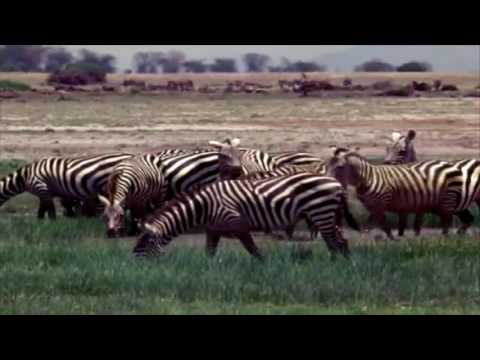 Zebra Thermoregulation Animation