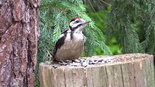 Oswojone dzikie ptaki : Dzięcioł duży - samczyk