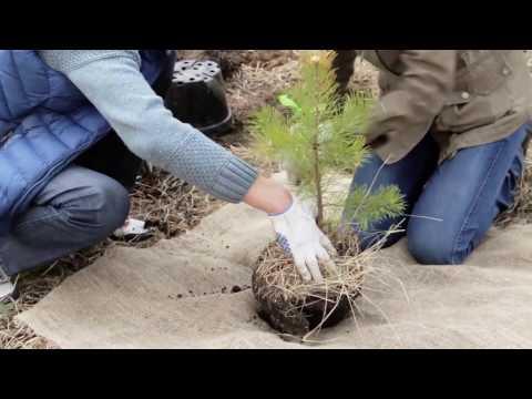 Как правильно посадить дерево.