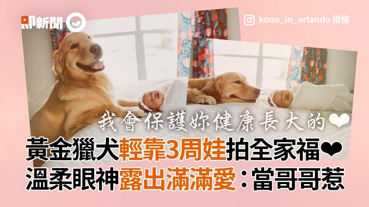 黃金獵犬輕靠3周娃拍全家福❤ 溫柔眼神露出滿滿愛:當哥哥惹│寵物│狗狗
