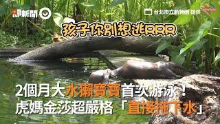 2個月大水獺寶寶首次游泳! 虎媽金莎超嚴格「直接拖下水」|台北市立動物園|歐亞水獺|特訓|看新聞