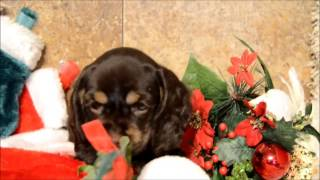 Akc Female Chocolate Cocker Spaniel Puppy For Sale