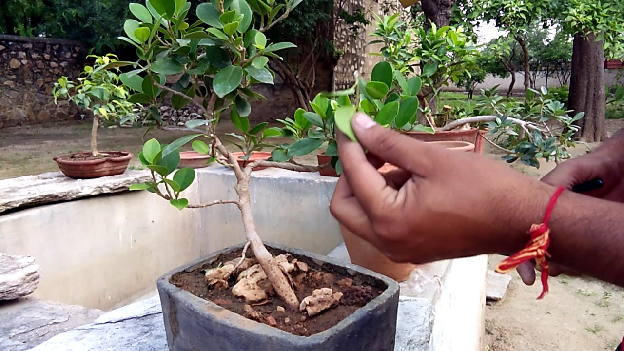How To Do Wiring A Bonsai Shaping Defoliation Trimming Of Branch Not For Dummies And Leaf In Hindi Urdu India