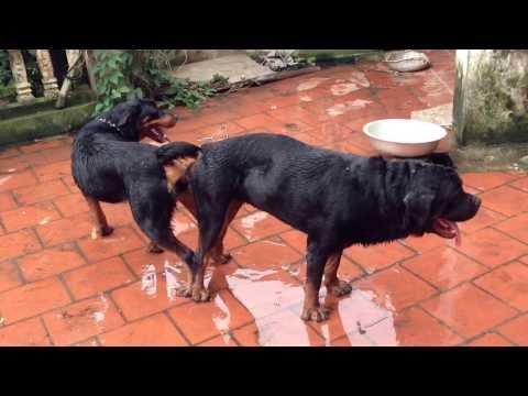 Chó Rottweiler Hưng yên