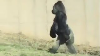 Hygiene-Conscious Gorilla Walks Around on 2 Legs to Keep His Hands Clean