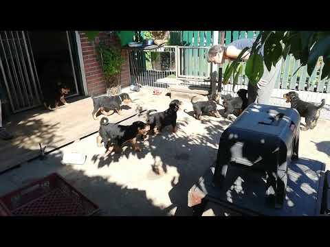Airedale Terrier Welpen von Erikson - S2-Wurf VID 20190623 165959