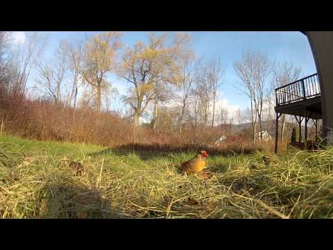 Northern Cardinal Vs. White-throated Sparrows At A Backyard Feeder