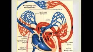 Круги кровообращения. Урок биологии.(Видеоурок по теме