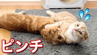 何度挑戦しても兄猫には敵わない短足猫…w
