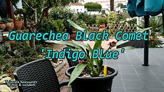 This is a #CareCollab video about Guarechea Black Comet 'indigo blue' a very recent hybrid. In these videos several channels join up to post videos on the ...