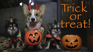 TRICK OR TREAT! - Topi the Corgi