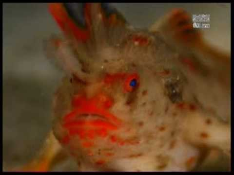 Red Handfish (Thymichthys Politus) From Tasmania - Feeding On Mysids