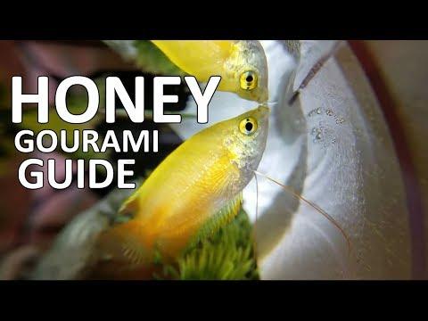 Honey Gourami Ft. A Gamer's Wife   Beginner Guide