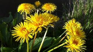 Common Dandelion (Taraxacum officinale) - 2012-04-27