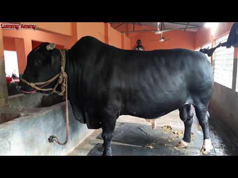 The Famous Kurbani's Cow Of This Year Juboraj - The Biggest