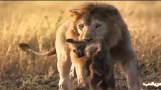 ライオンがハイエナの子供を母親の目の前で殺す 【関連動画】 【貴重映...