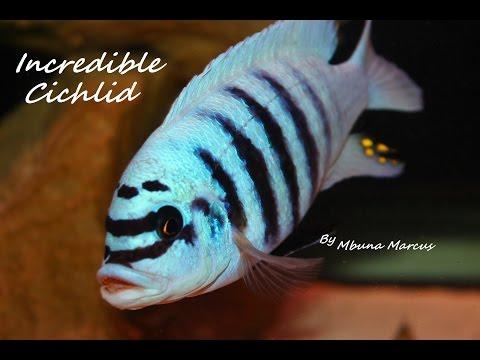 Amazing Fish African Cichlid Mbuna
