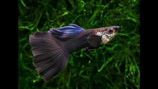 Гуппи в аквариуме уход и содержание