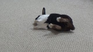 Rabbit falling over and flopping!