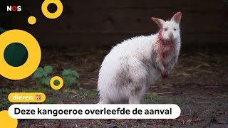 Wolf valt kangoeroes aan in België