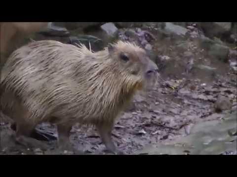Capybara Rituals at Nagasaki Bio Park 長崎バイオパークのカピバラ交尾