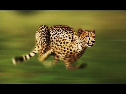 Cheetah - The Fastest Running Animal - National Geographic F