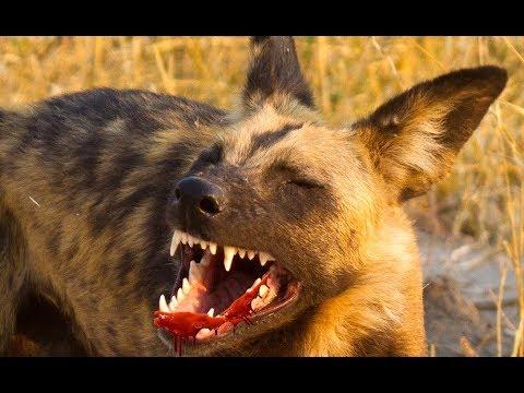 African Wild Dog - Teamwork Strategies | Predators (Nat Geo Wild)