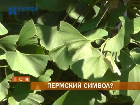 Вопрос: В чём уникальность дерева Гинкго Билоба Где произрастает?
